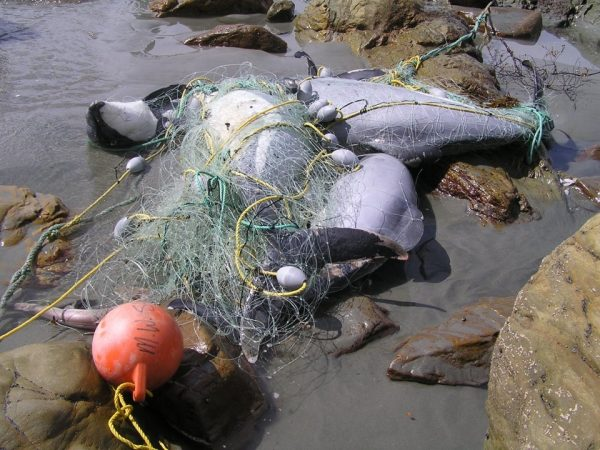 Netted and beached dolphins