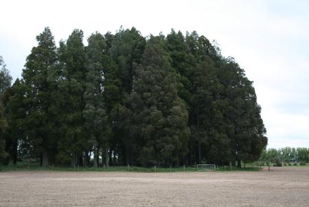 Armstrong-fenced kahikatea