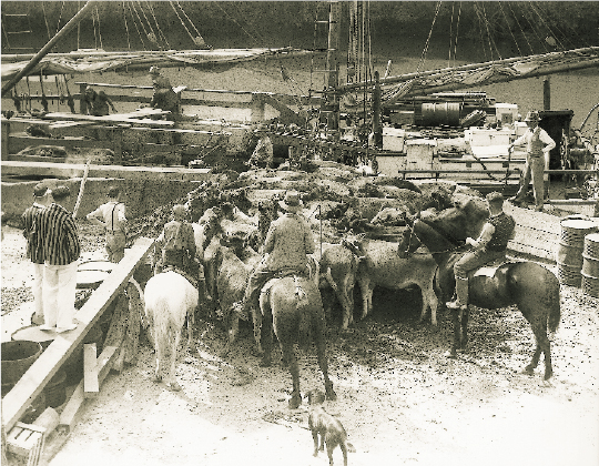 The Jane Gifford loading cattle at Warkworth