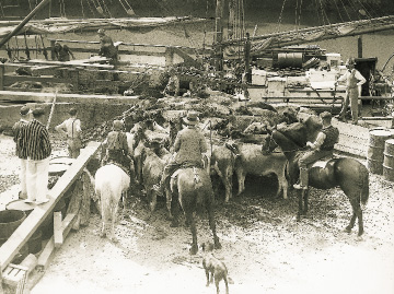 Loading cattle aboard the Jane Gifford at Warkworth