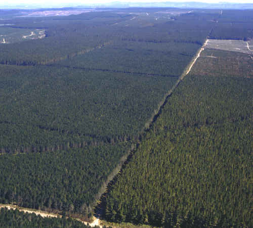 Radiata pine forest