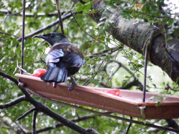 Tūī feeding on persimmon