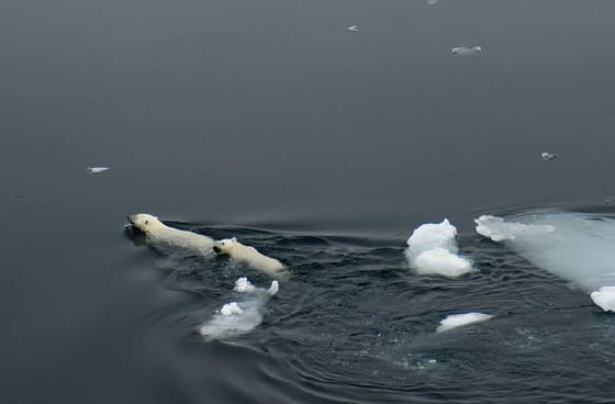 Polar bear and cub, 201106