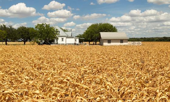 Texas Drought 2011, dead corn