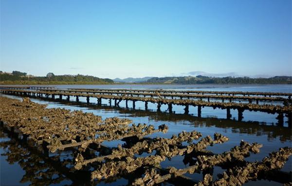 Mahurangi oyster farm