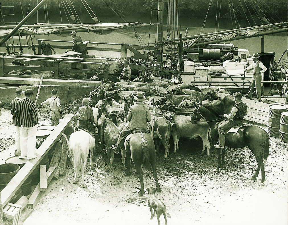 The Jane Gifford loading cattle in Warkworth