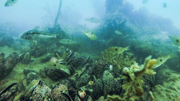 Mahurangi restored mussel reef