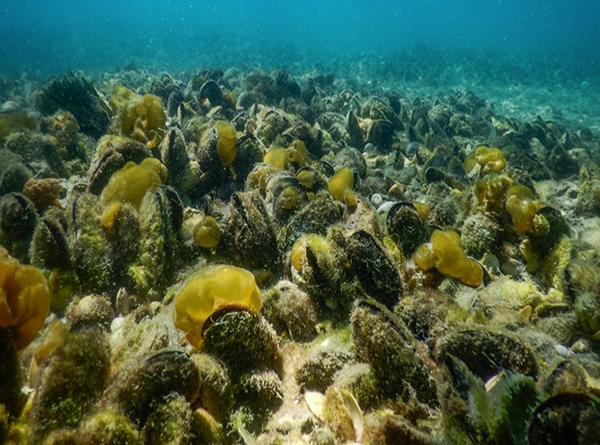 Green-lipped mussel on Hauraki Gulf seabed