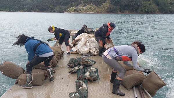 Sugar sacks of mussels deployed into the Mahurangi Harbour, March 2019