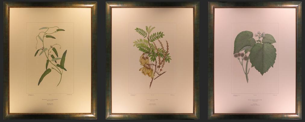 Serpentaria mirabilis, Parisian Studio Scene, Camellia du Japon