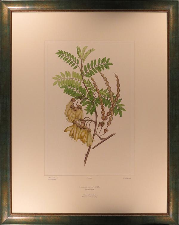 Sophora tetraptera (Leguminosae) – Plate 430, from Sydney Parkinson