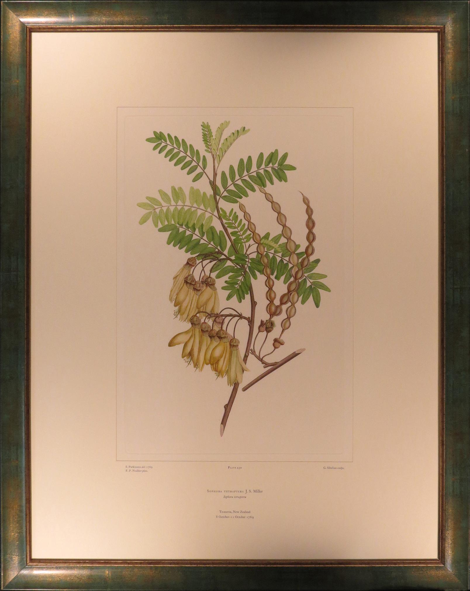 Sophora tetraptera</cite>. Kōwhai